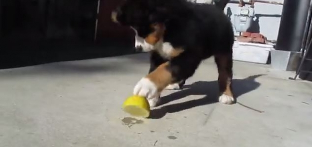 Dog vs Lemon