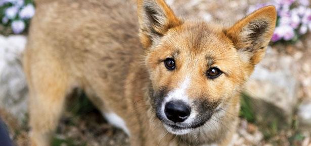 Rare and Endangered Dingo