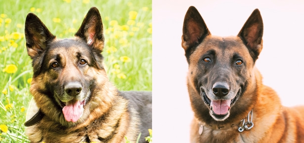 The German Shepherd VS The Belgian Malinois