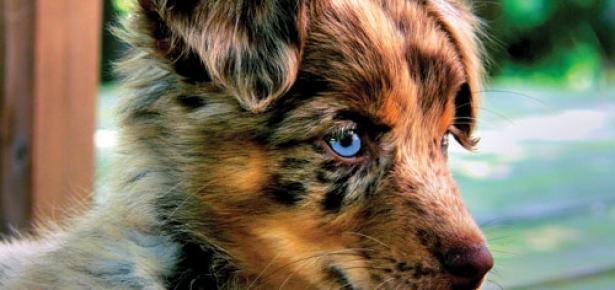 Ask An Expert Herding Hassles Modern Dog Magazine