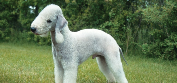 Hypoallergenic-dog-breeds-hd.jpg