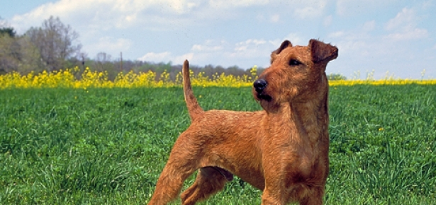 IrishTerrier_AKC-hd.jpg