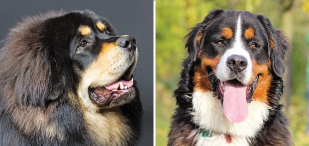 The 14 Largest Dog Breeds