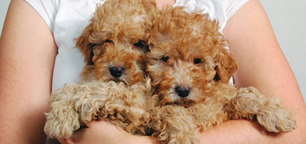 Poodlepuppies-hd.jpg