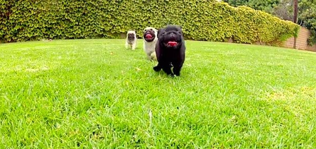 Pug puppies playing