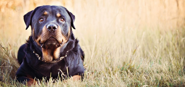 Is the Rottweiler or the Black & Tan Coonhound Right for You?