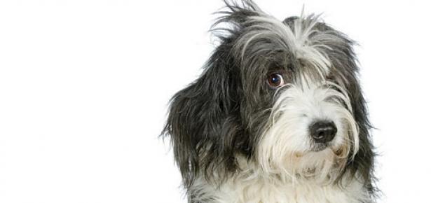Shaggy_Dog-hd.jpg