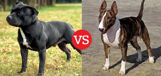 Staffordshire Bull Terrier and Bull Terrier