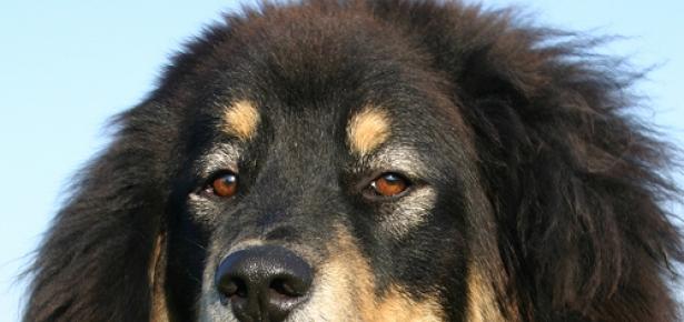 Tibetan_Dog.jpg