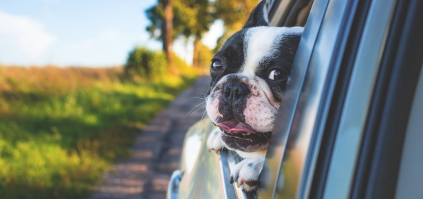 dog sticking head out the window of a car
