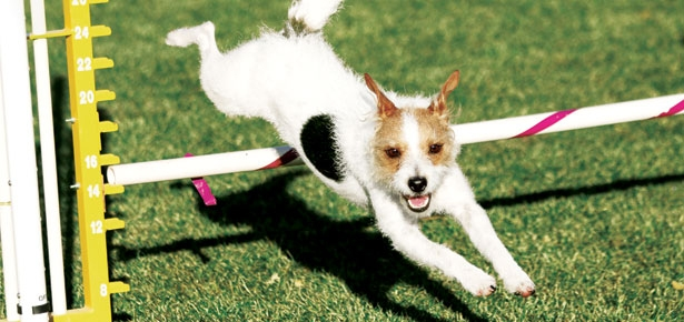 Is Agility Right for Your Dog?