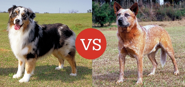 What S The Difference Between The Australian Shepherd And
