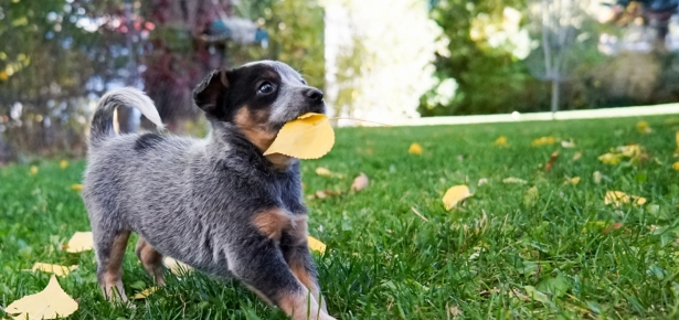 puppy outside on grass with leaf in mouth