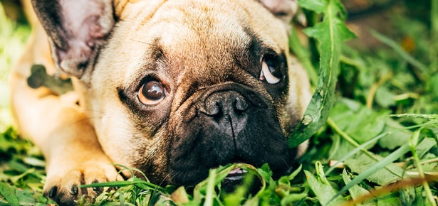 Dogs restless and eating grass