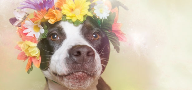 Flower Power: Pit Bulls of the Revolution