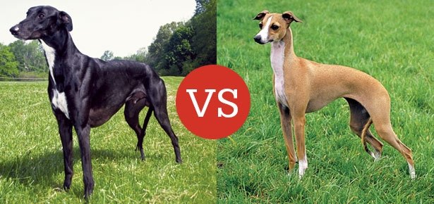 Greyhound VS Italian Greyhound