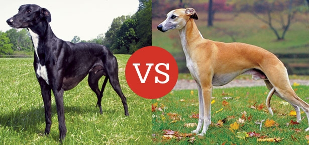Greyhound VS Whippet