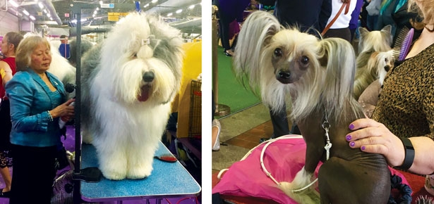 Westminster Dog Show Prep: Meet The Newbies | Modern Dog