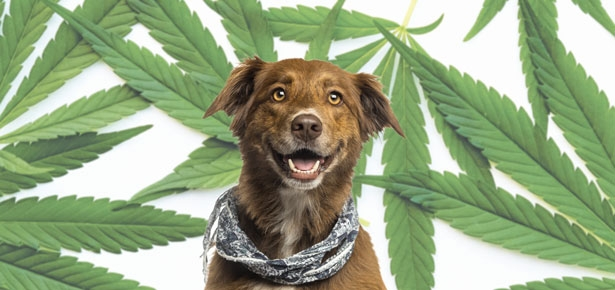CBD and your Dog