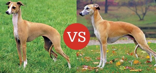 Italian Greyhound VS Whippet