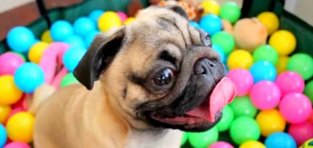 Video of the Day: Pug in a Ball Pit
