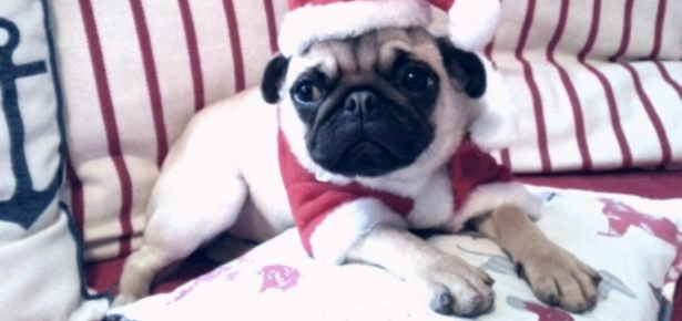 Cute Christmas dog in red jacket