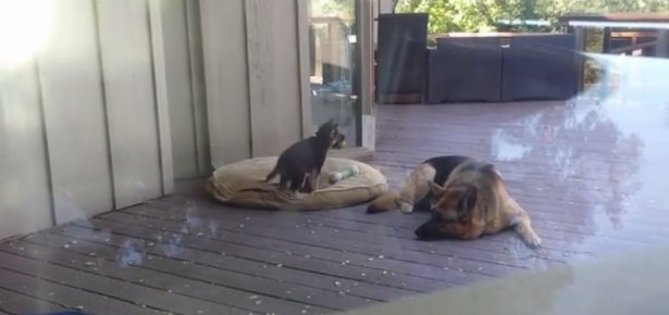German Shepherd Mom Puts Puppy to Bed