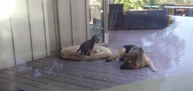 German Shepherd Mom Puts Puppy to Bed
