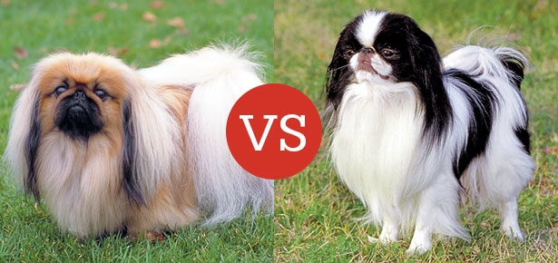 Pekingese VS Japanese Chin