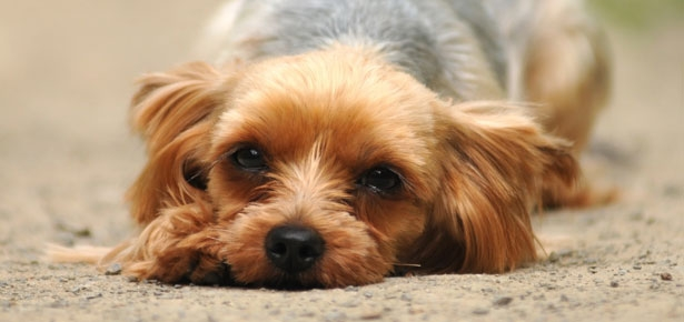 Dermatophytosis (Ringworm) and Your Pet