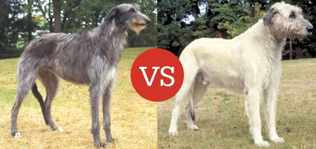 Scottish Deerhound VS Irish Wolfhound