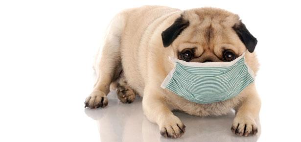 pug with mask