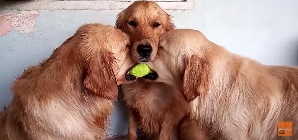 3 Golden Retrievers Hug Over Tennis Ball