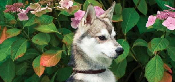 The Alaskan Klee Kai