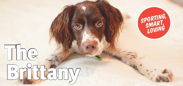 the brittany dog, brittany spaniel dog who's fun and loving