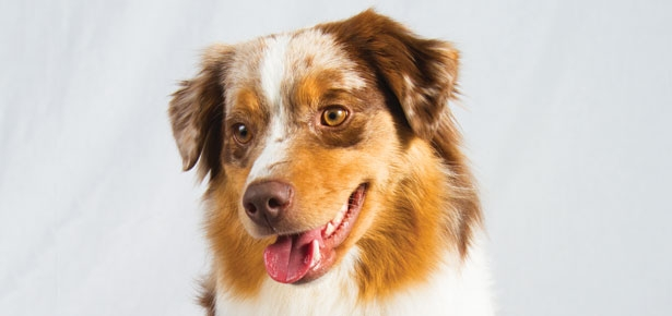 The Miniature American Shepherd