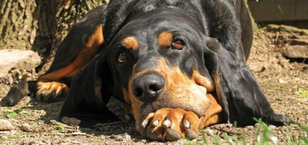 The Black And Tan Coonhound Modern Dog Magazine