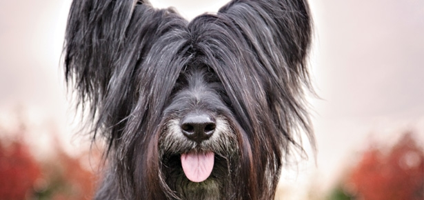 The Skye Terrier