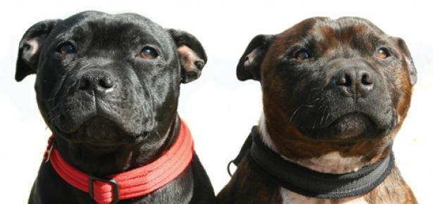 The Staffordshire Bull Terrier Modern Dog Magazine