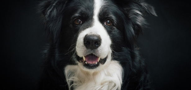 What you need to consider before choosing beds for Border Collie?