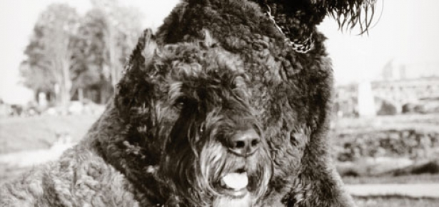 The Bouvier des Flandres