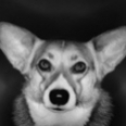 BreedProfile-Corgi-sm.jpg