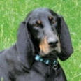 Coonhound-sm.jpg