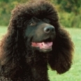 Hypoallergenic-dog-breeds-sm.jpg