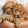Poodlepuppies-sm.jpg