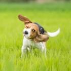 Banixx Beagle