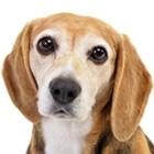 Beagle-Thumbnail
