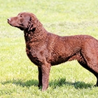 ChesapeakeBayRetriever-Thumbnail