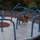 Corgi on a Carousel