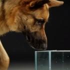 Dog Drinking Water